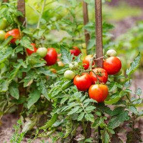 Tomatoes Among the Food Stuff at Mika Uganda